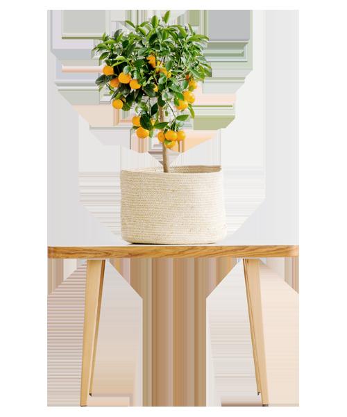 table en bois avec un oranger dessus